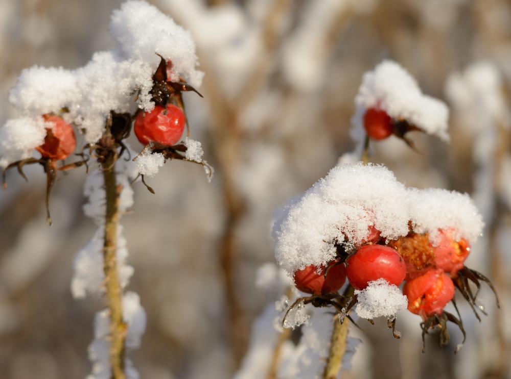 Hyben under sne