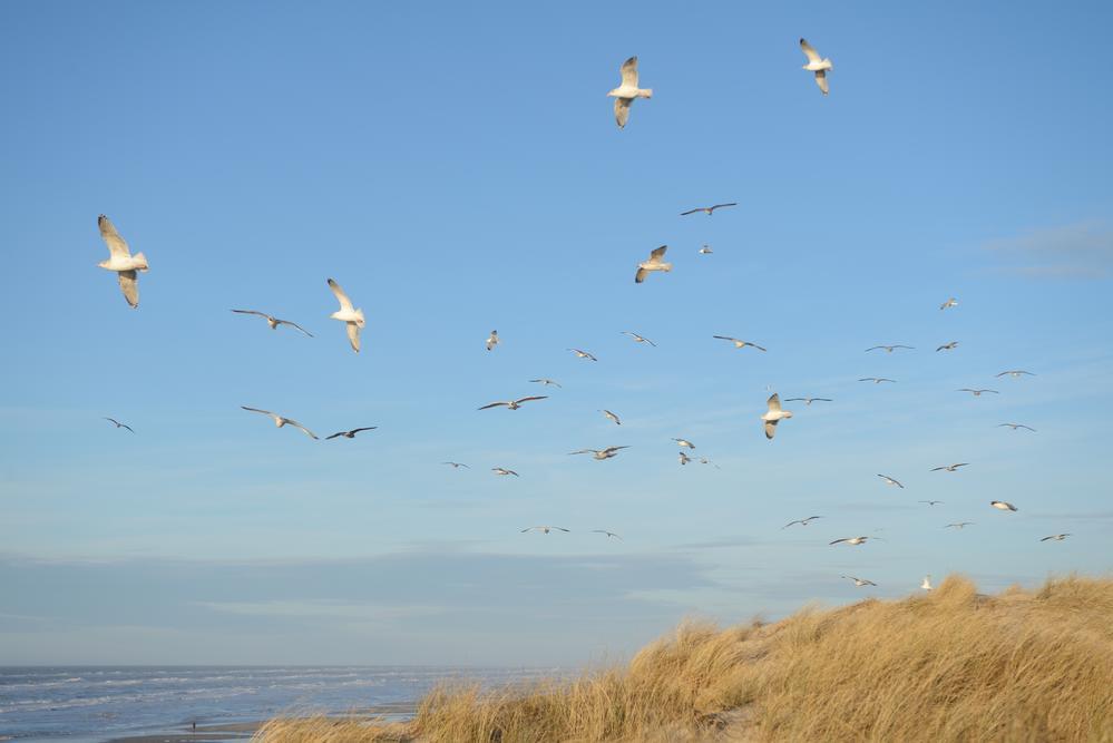 Måger i vinden