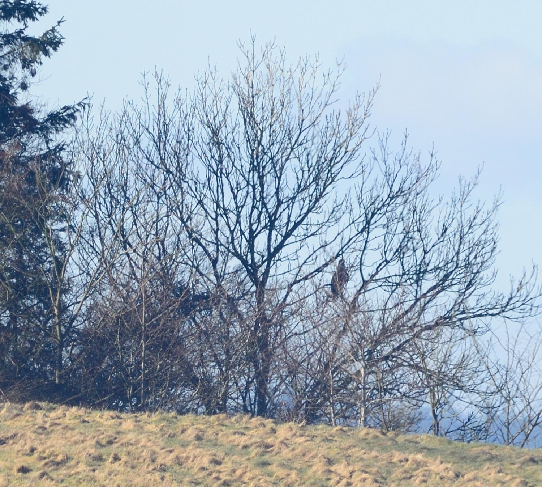 Havørn i træ