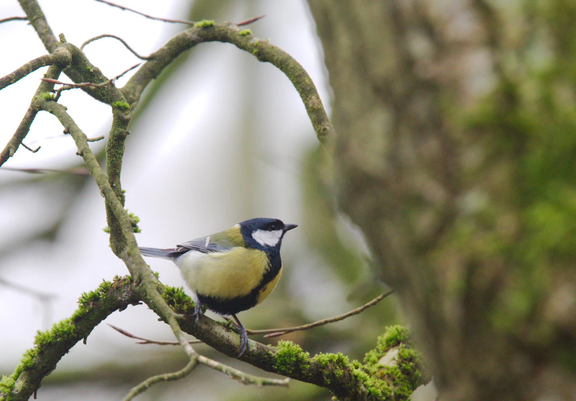 Musvit, Parus major